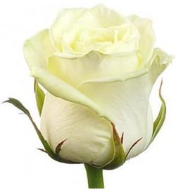 Высокая белая роза